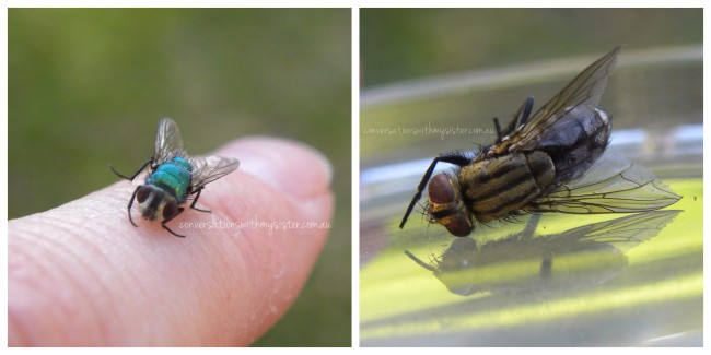 Australian Flies